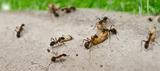 Plagas de hormigas - foto