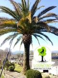 Tratamiento palmeras arboricultura poda - foto