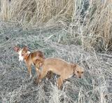 Perros de caza de conejo en león - foto