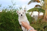 WEST HIGHLAND WHITE TERRIER - foto