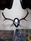Frontal de ciervo , taxidermia manzano - foto