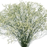 Venta de Limonium Blanco - Flor Cortada - foto