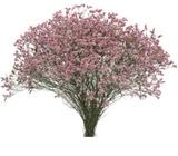 Venta de Limonium Rosa - foto