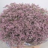 Venta de Limonium Rosa Palo Flor Cortada - foto