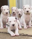 MAGNIFICOS DOGO ARGENTINO - foto