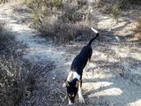 vendo perros de caza - foto