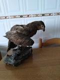 Águila disecado - foto