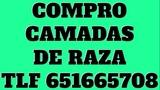 SE COMPRAN CAMADAS DE LABRADORES - foto