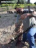 Red de liebre muy eficaces TL 686730297 - foto