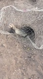 Hurones cazando y conejos puros de monte - foto