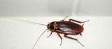 Eliminacion de cucarachas - foto