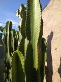 cactus euphorbia de un metro 10 - foto