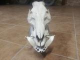 cráneo de jabalí .trofeo - foto