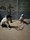 perra pointer cazando - foto
