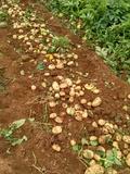 Patata kenebec coristanco - foto