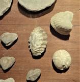 Colección de fósiles - foto
