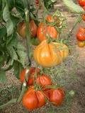 Plantas de tomates pimientos ... - foto