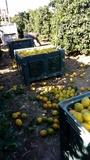 venta de naranjas - foto