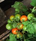 Cultiva plantas de tomates, pimientos - foto