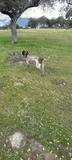 Braco cazando, muestra y cobro - foto