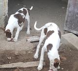 se vende 2 cachorros berrendo chocolate - foto
