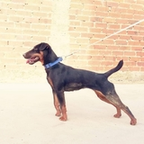 Hembra Jagd Terrier - foto