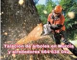 limpieza y talacion de árboles en Murcia - foto