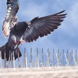 Plagas de palomas - foto
