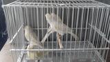 Se cede canarios agata opal amarillo msa - foto