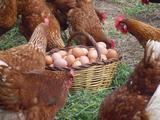 se venden huevos de gallinas felices - foto