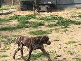 Venta de perros de caza - foto