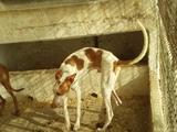 Se vende cachorro de podenco canario ibi - foto