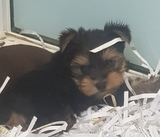 YORKSHIRE TERRIER TOY - foto