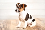 JACK RUSSELL - foto