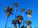 Poda y tala de palmeras y árboles - foto