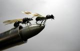 Hormigas para caza de zorzales - foto