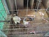 Disponible cachorro caza jabali - foto