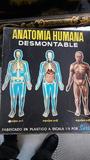 Anatomia humana desmontable nº1 - foto