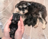 HERMOSOS CACHORRITOS SCHNAUZER MINI !!! - foto