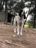 Perros cazando jabali - foto
