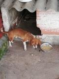 Beagle 1 año - foto