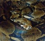 Nikita y su serpiente - foto