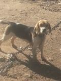vendo beagle - foto