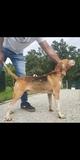 Beagle harrier montas - foto