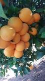 Naranja para mesa y zumo. - foto