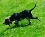 Adiestramiento canino para el jabalí - foto