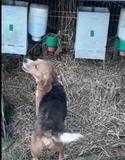 Beagle - foto