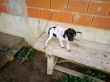 Cachorros pointer - foto