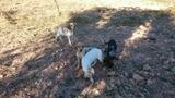 cachorros setter - foto