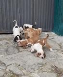 Perros jabali - foto